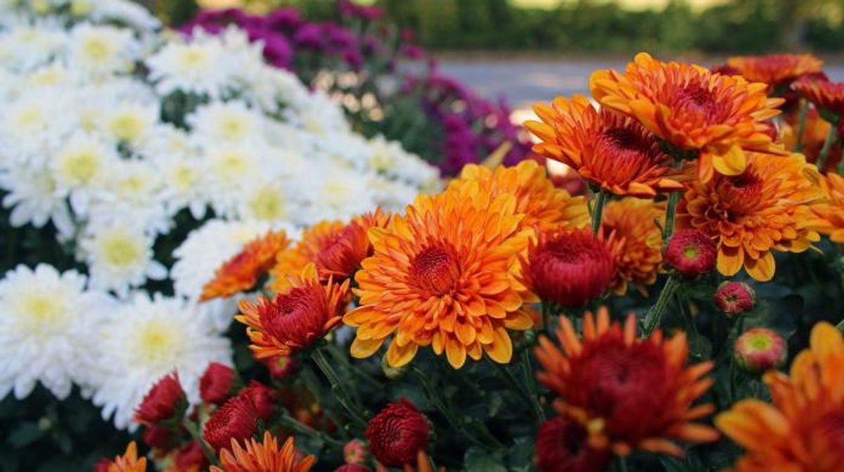 Best fall flowers for your American Legend home