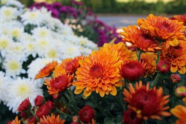 Best fall flowers for your Belclaire home